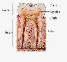Polpa Dentaria